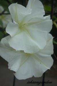 moonflower 1