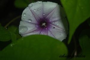 moonflower lavender 2