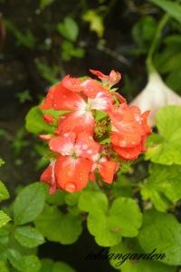 geranium pinto bicolor full blooming