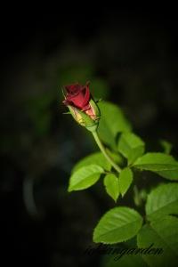 kuntum mawar saat malam :)