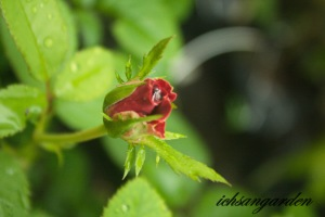 kuntum mawar saat pagi :)