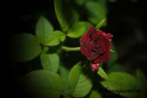 rode dark red full blooming