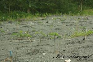new merapi pemulihan hutan
