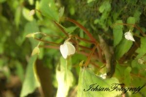 kaliurang flower3