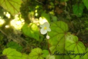 kaliurang flower4