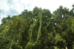 kaliurang tree1