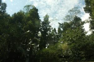 kaliurang tree2