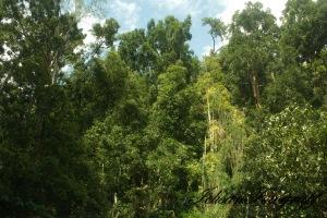 kaliurang tree3