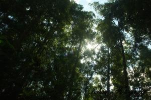 kaliurang tree4