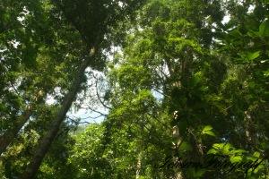 kaliurang tree5