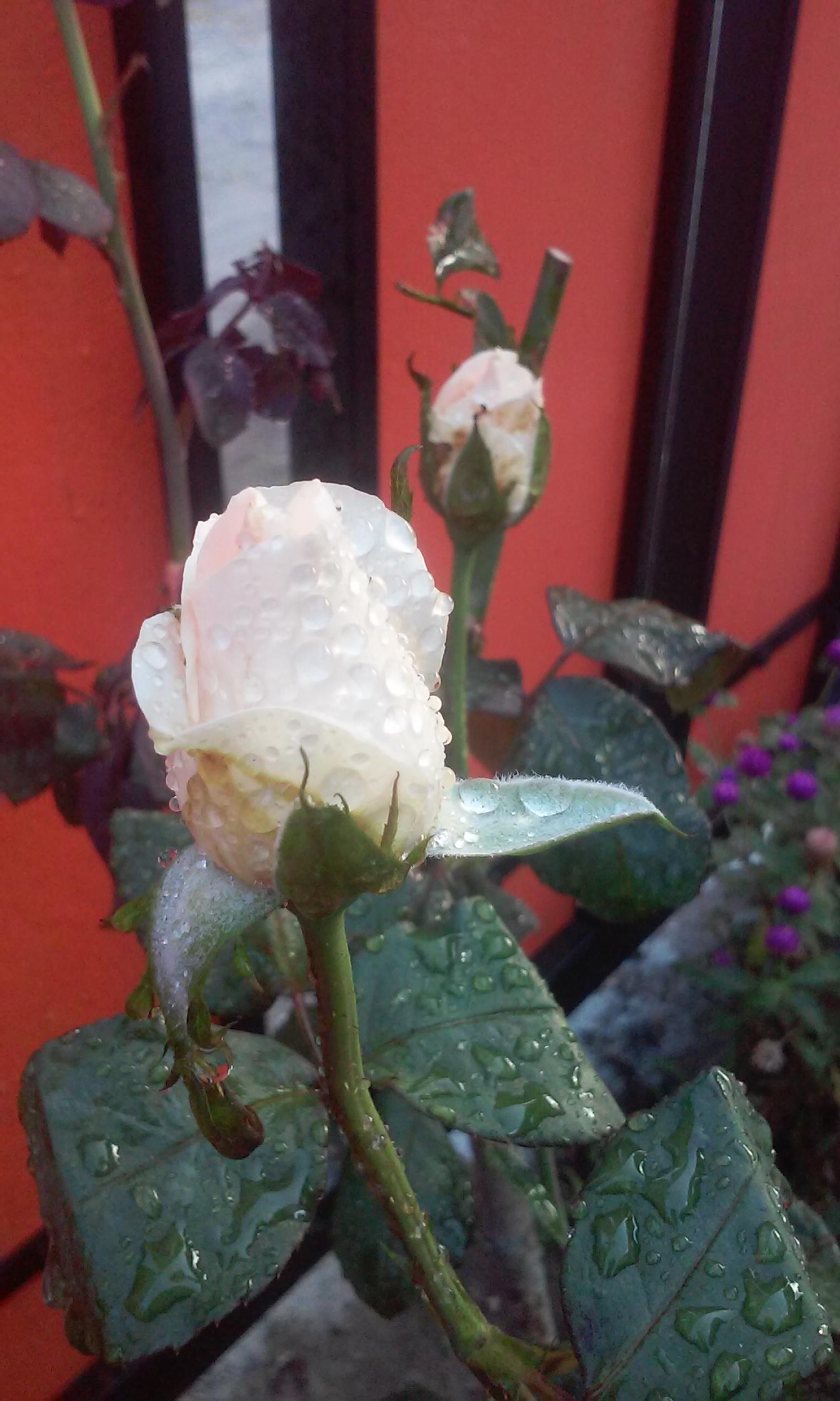 91+ Gambar Bunga Mawar Yang Mudah Paling Keren